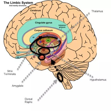 Dorsal Raphe Serotonin Projections to the Bed Nucleus of the Stria Terminalis.jpg