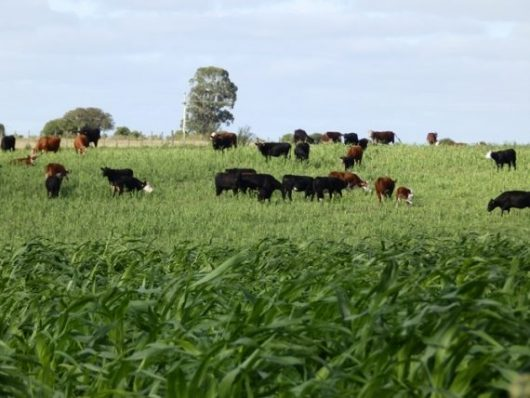 Free pasture cattle, Uruguay