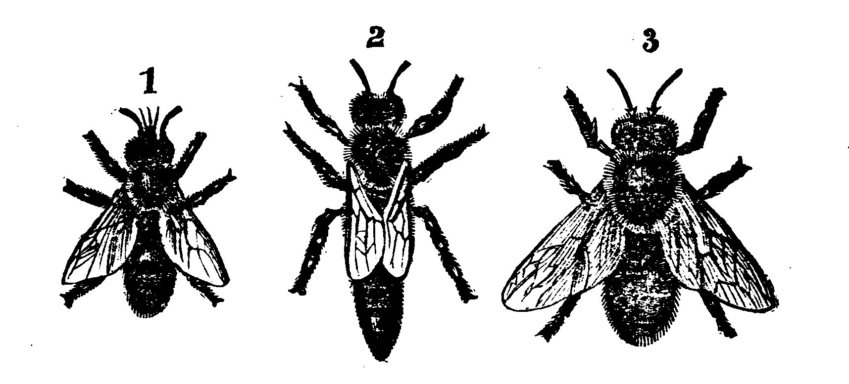 Queen Bee Scientific Illustration