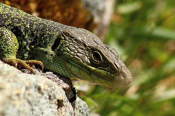 Foto: Gabriel González. Con el  calor se favorece que nazcan más hembras que machos en los reptiles