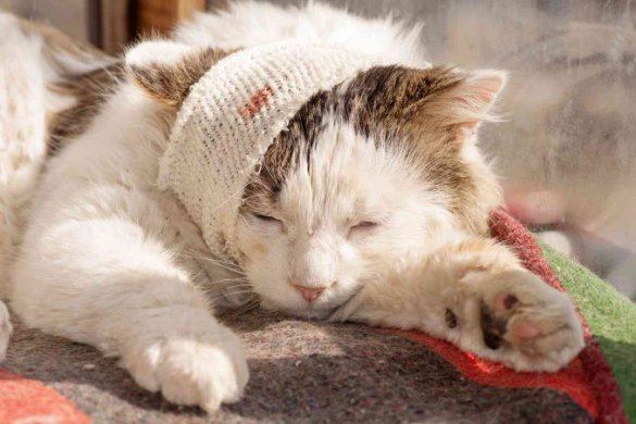 ferita-gatto