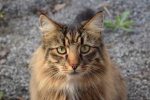 gatto-norvegese