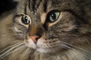 gatto norvegese2