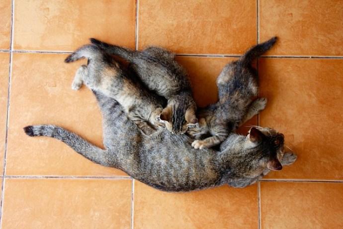 Gattino egiziano in allattamento