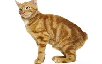 Gatto dell isola di Man, senza coda arancione