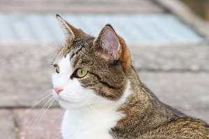 orecchie-gatto