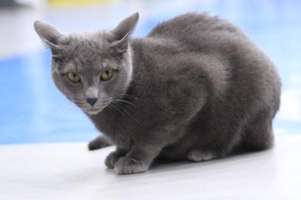 gatto-blu-di-russia-