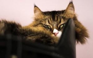 gatto-siberiano-relax