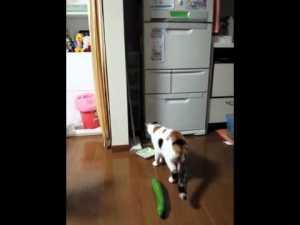 gatti-cetriolo