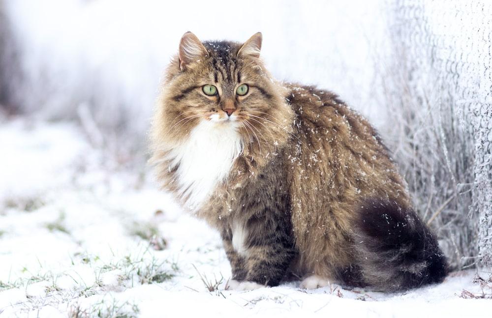 gatto-siberiano-neve