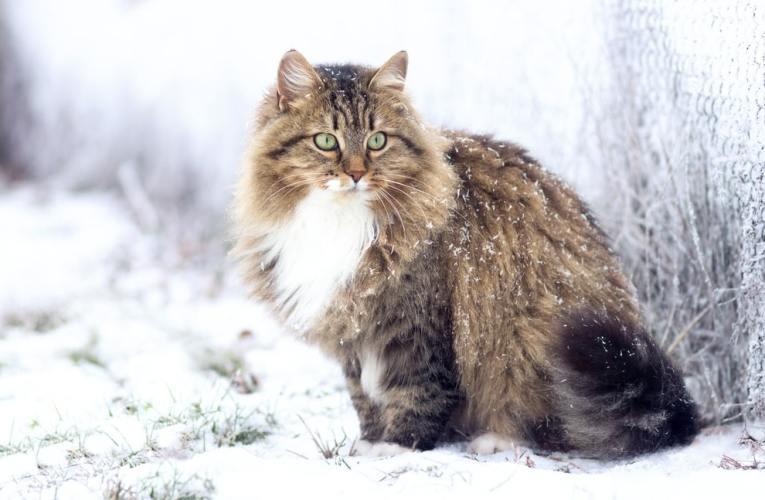 Gatto Siberiano: Carattere e Prezzo