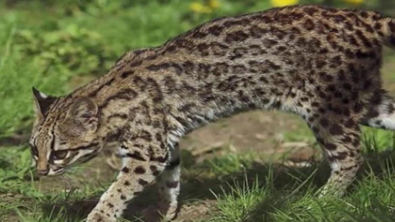 Gatto-tigre-oncilla