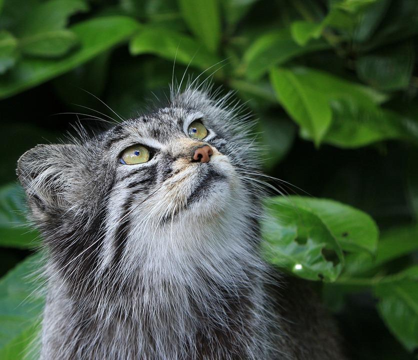 gatto-di-pallas-foto