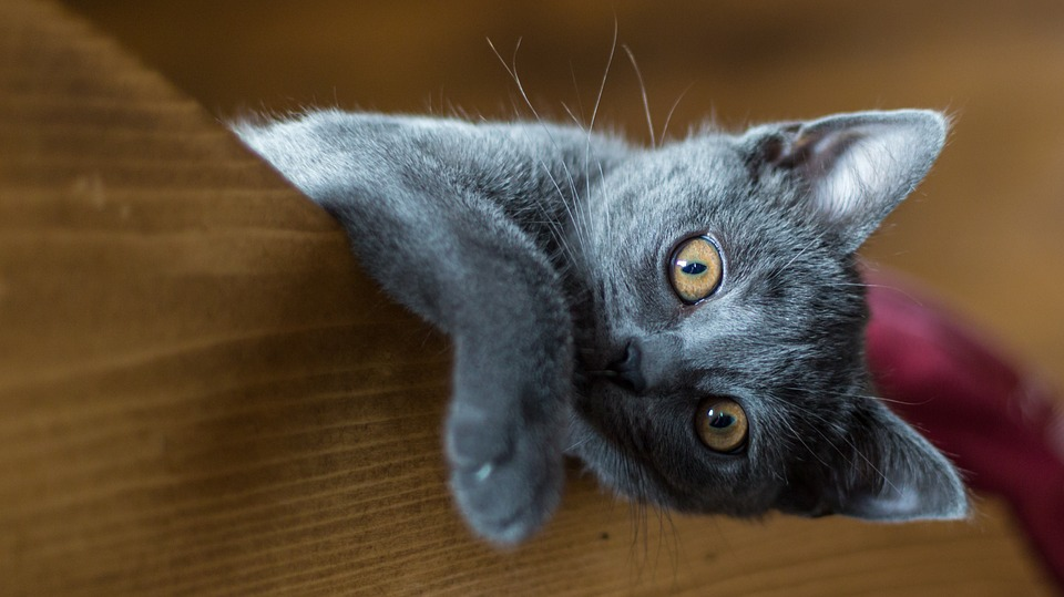 gatto certosino foto