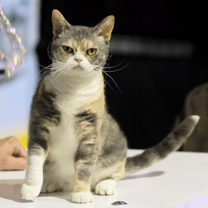 American Wirehair foto