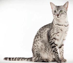 gatto mau egiziano foto