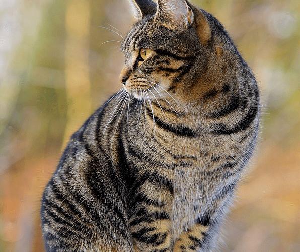 Gatto tigrato o Tabby
