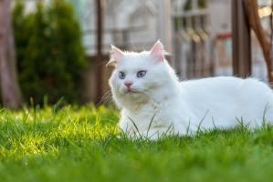 gatto bianco occhi azzurri