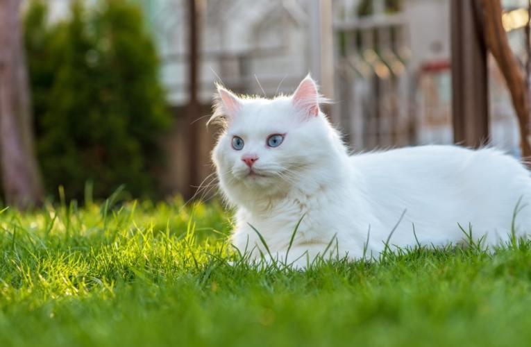 Gatti bianchi, sono sordi?