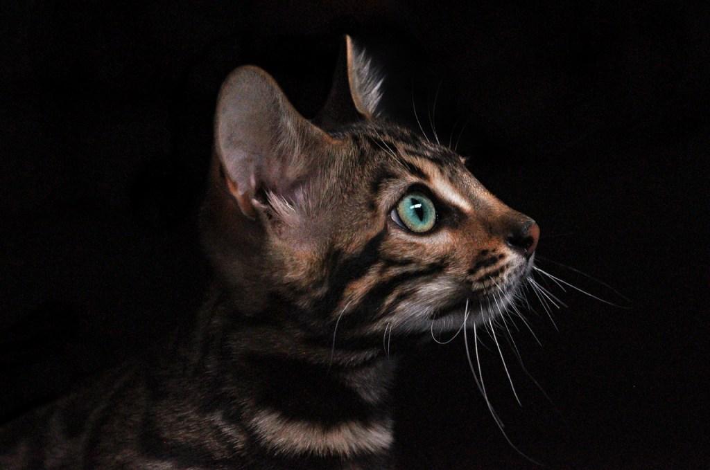 gatto asiatico
