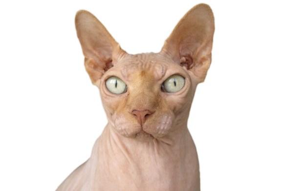 gatto spinx