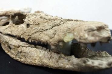 Barrosasuchus Neuquenianus argentina coccodrillo patagonia