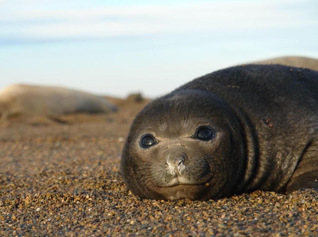 orche peninsula valdes punta norte argentina