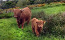 A Wee Calf