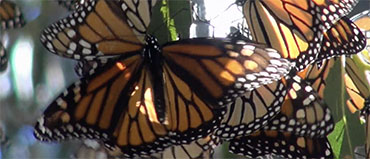 monarchsb