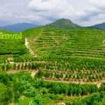 The Scenery at Gaharu Tea Valley, Gopeng