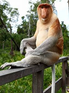 They have huge noses, big bellies and live in groups. They are not your ordinary tree swinging monkeys and they don't eat ripe bananas. They have webbed feet and are able to swim. We are talking about the proboscis monkey – a rare and endangered animal found primarily in Borneo and predominantly in Sabah.
