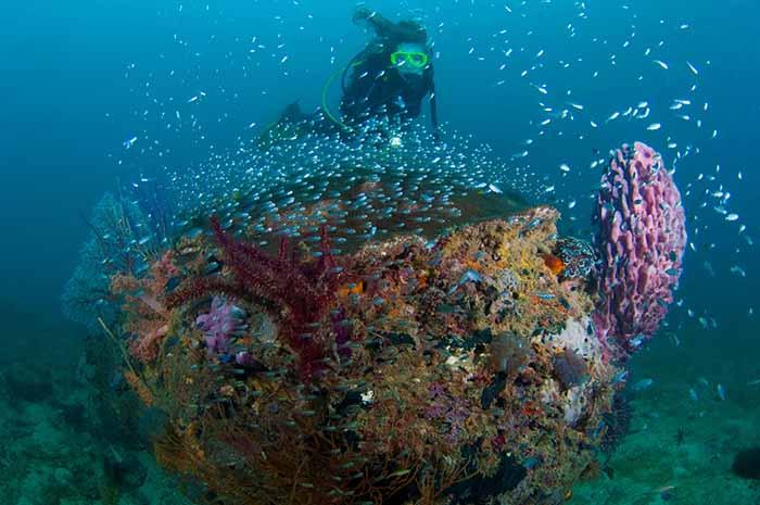 Diver with glassfish over coral, Tunku Abdul Rahman Marine Park, Kota Kinabalu, Borneo, East Malaysia