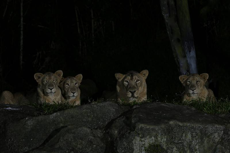 Night Safari - Asiatic lions