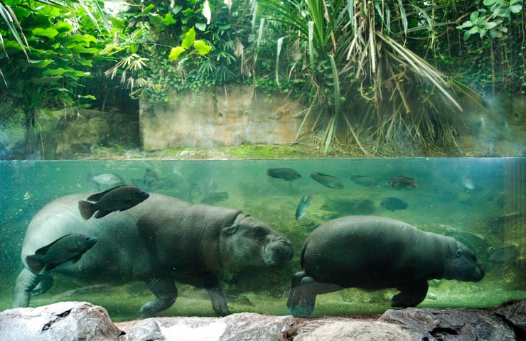 Singapore Zoo - Pygmy hippo