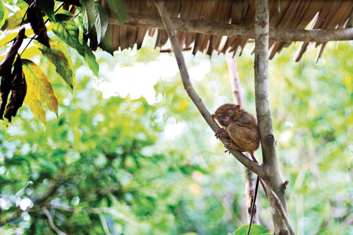 The Philippines Tarsier or known locally as Maomag