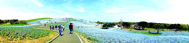 Nemophilis at Hitachi Seaside Park