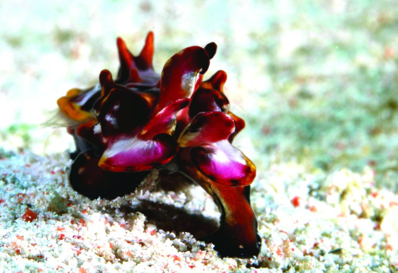 Flamboyant cuttlefish is one of the macro creatures found in the waters of Komodo National Park