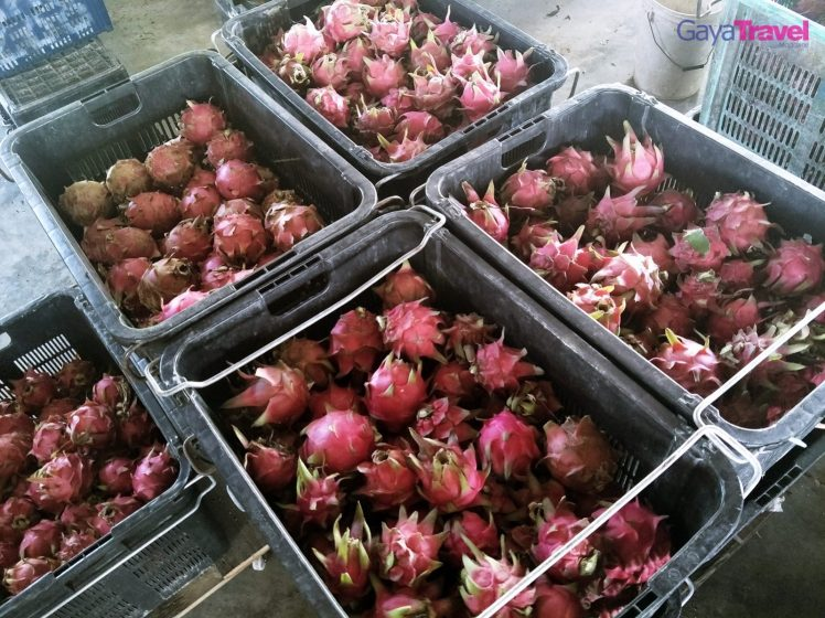 Some of the freshly plucked dragon fruits ready to be sold.