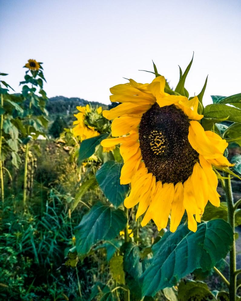 Sunflower & Kochia Kingdom