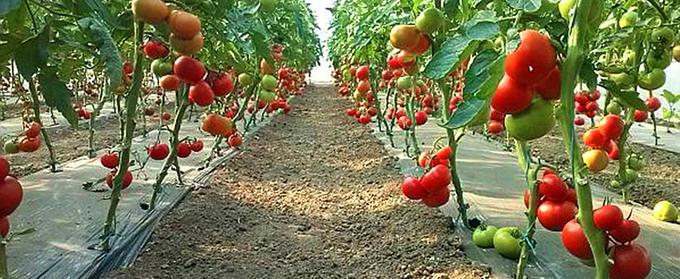 Cultura de tomate in camp si in spatii protejate - 3