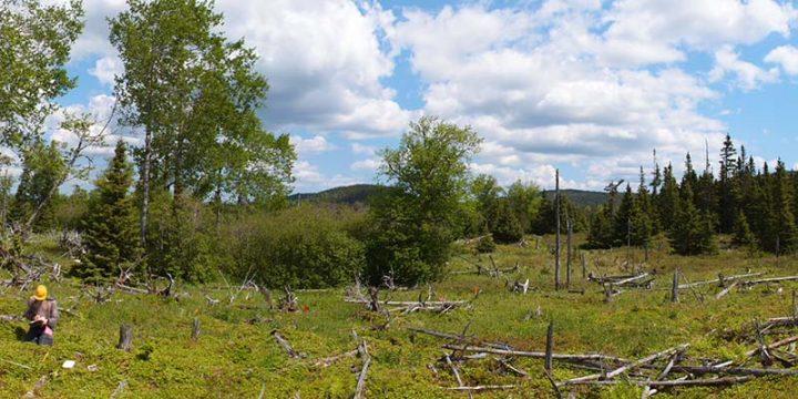 Spruce meadow