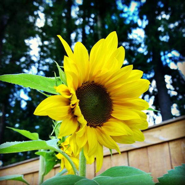 SunflowerGranola3