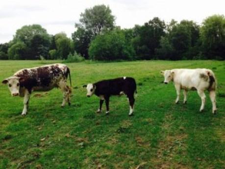De koeien bij GB5