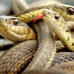 Ever thought of Snake Farming? It pays more in Agriculture