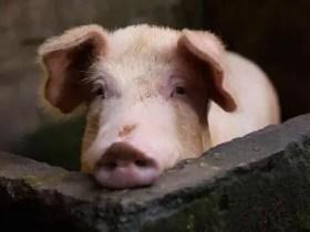 Swine Fever Outbreak: Delta govt set to Destroy destroy pigs; quarantine farm
