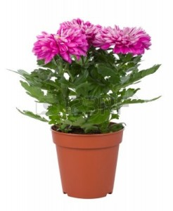 9109914-close-up-pink-chrysanthemum-flowers-in-pot-isolated-on-white