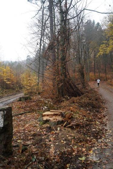 Bardzo niekorzystne wycinki starodrzewia o dużych, szerokich koronach, rosnących w dnie doliny Potoku Oliwskiego w 2016r