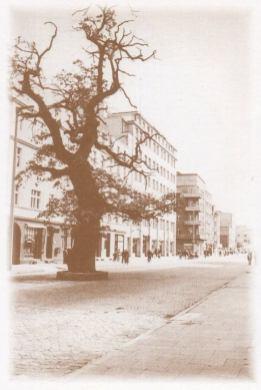 Dąb w 1937