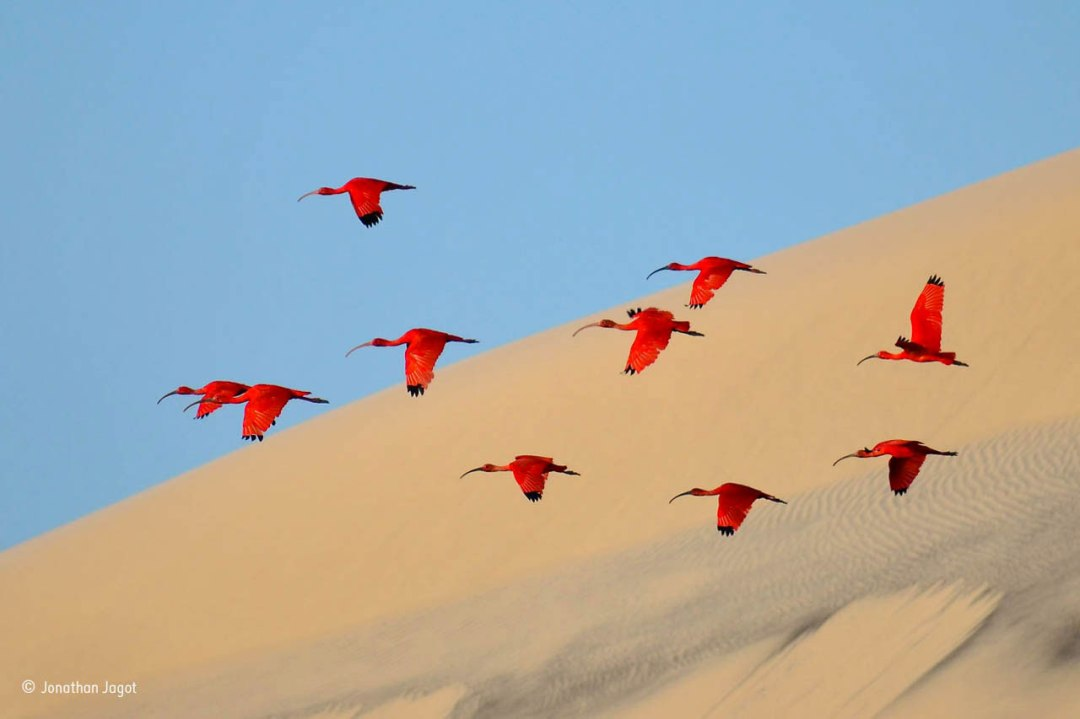 Flight of the scarlet ibis Jonathan Jagot winner of Natural History Museum Wildlife Photographer of the Year 2015