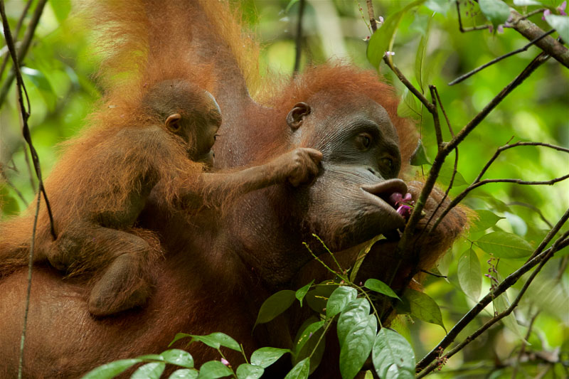 When Mother Knows Best by Tim Laman The Unfolding Tragedy of Wild Orangutans